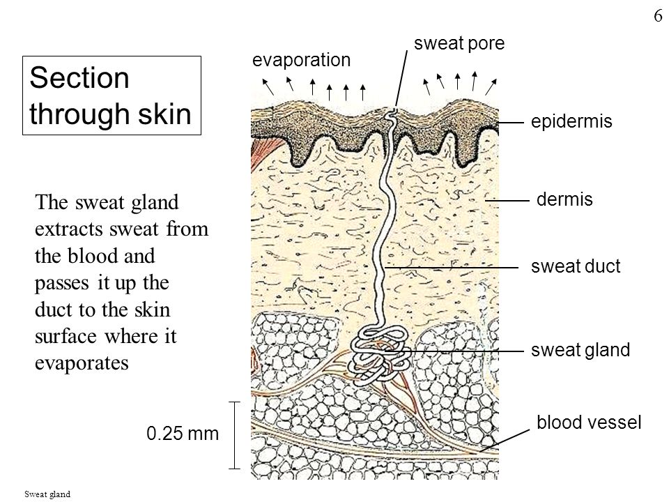 sweat pore evaporation epidermis dermis sweat duct sweat gland blood vessel Section through skin The sweat gland extracts sweat from the blood and passes it up the duct to the skin surface where it evaporates 0.25 mm Sweat gland 6