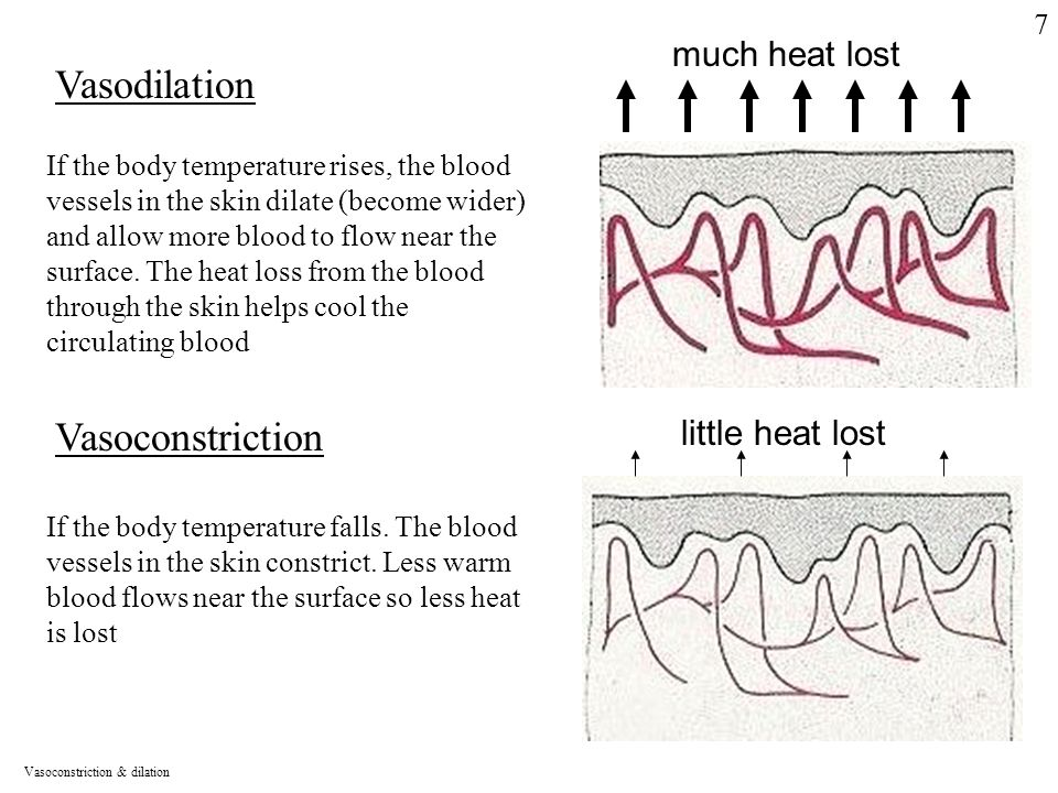 much heat lost Vasodilation If the body temperature rises, the blood vessels in the skin dilate (become wider) and allow more blood to flow near the surface.