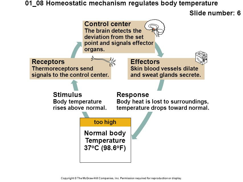 BODY TEMPERATURE as an example of HOMEOSTASIS