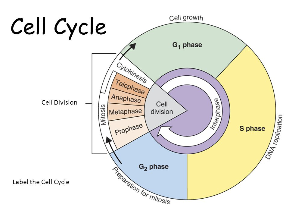 Cell cycle mitosis ms kruegers website image result for cell cycle ccuart Choice Image