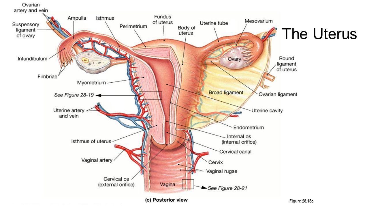 Beste Die Anatomie Eines Huhns Fotos - Menschliche Anatomie Bilder ...