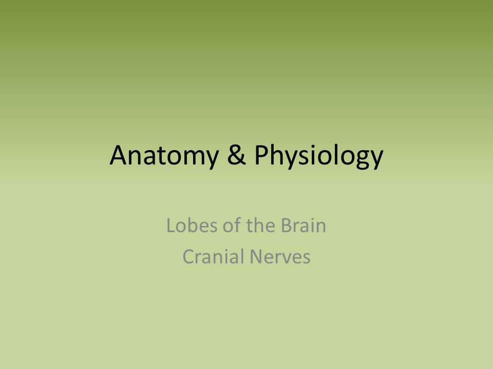 Anatomy & Physiology Lobes of the Brain Cranial Nerves. - ppt download