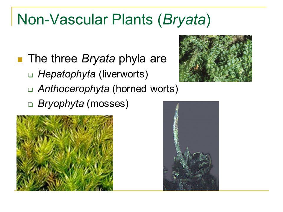 Non-Vascular Plants (Bryata) The three Bryata phyla are  Hepatophyta (liverworts)  Anthocerophyta (horned worts)  Bryophyta (mosses)