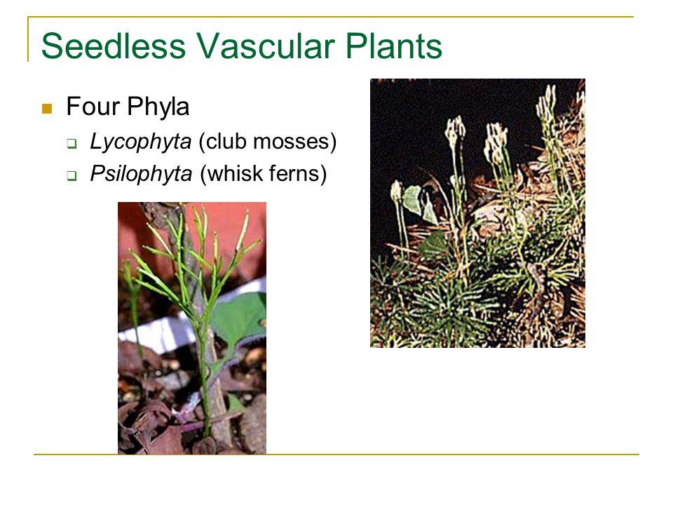 Seedless Vascular Plants Four Phyla  Lycophyta (club mosses)  Psilophyta (whisk ferns)
