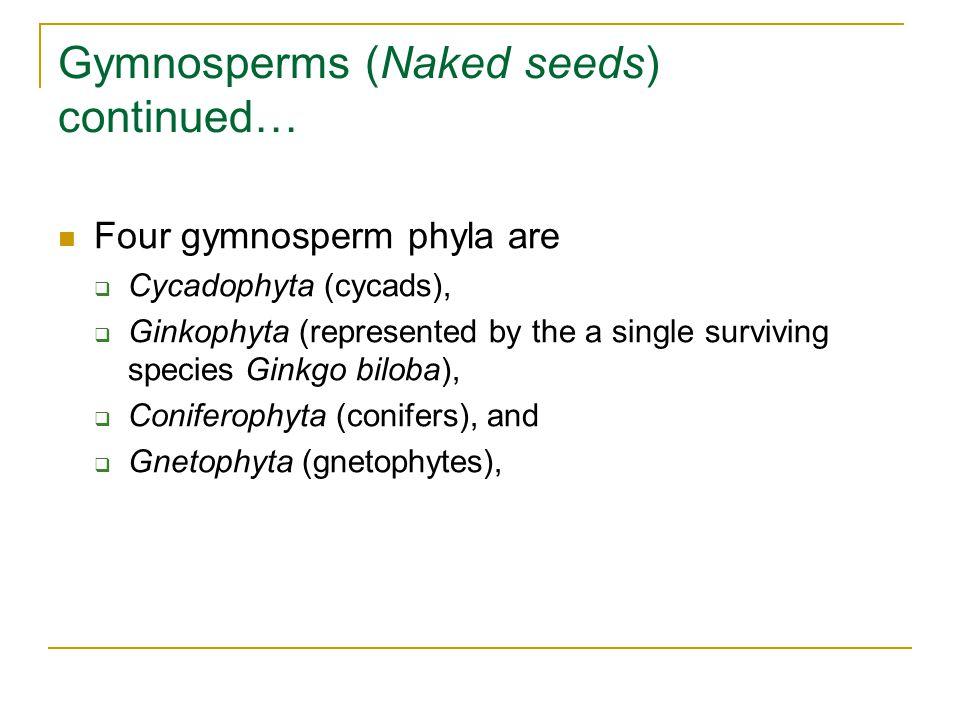 Gymnosperms (Naked seeds) continued… Four gymnosperm phyla are  Cycadophyta (cycads),  Ginkophyta (represented by the a single surviving species Ginkgo biloba),  Coniferophyta (conifers), and  Gnetophyta (gnetophytes),