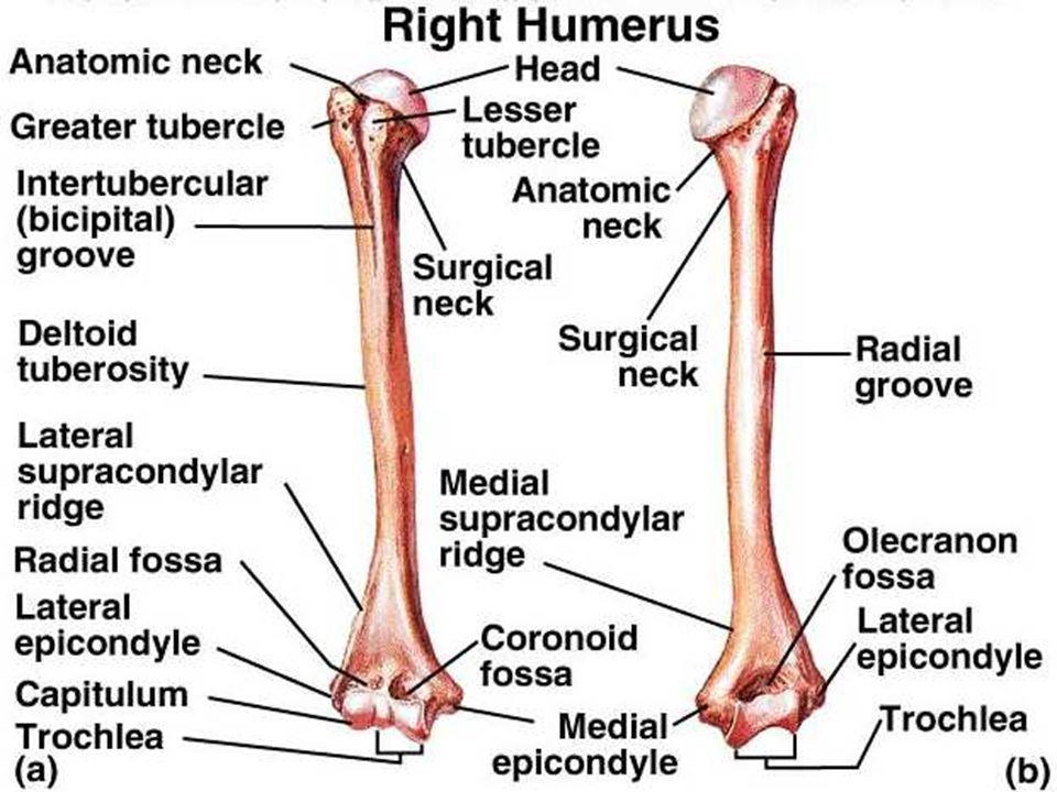 Großartig Anatomy Of Upper Limb Fotos - Menschliche Anatomie Bilder ...