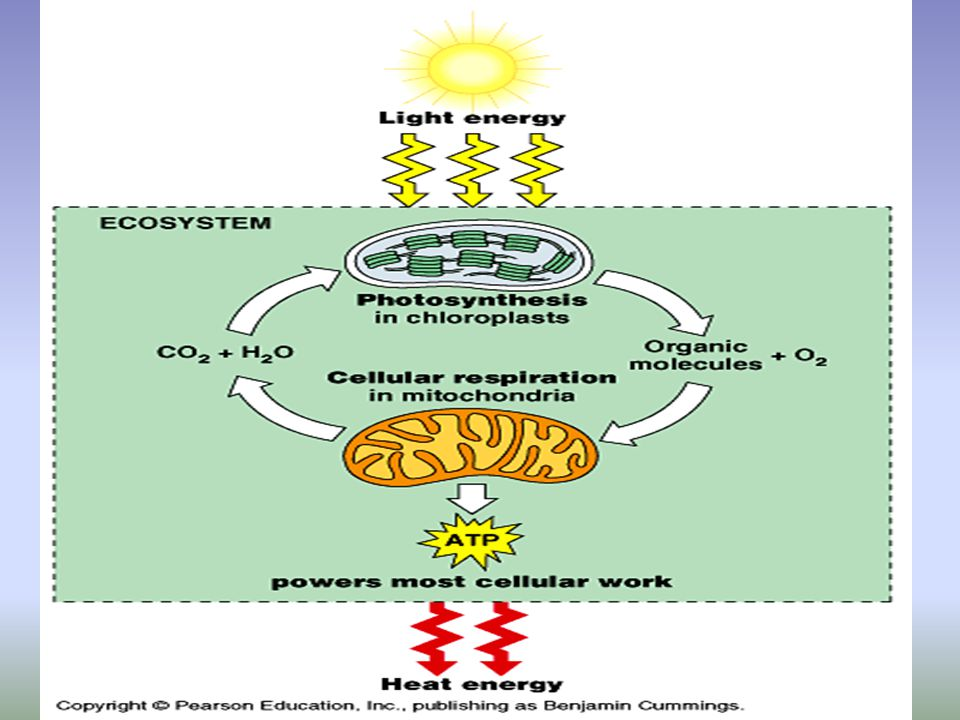 Photosynthesis and cellular respiration photosynthesis most cellular respiration diagram mitochondrion in the cell 11 comparing ccuart Images