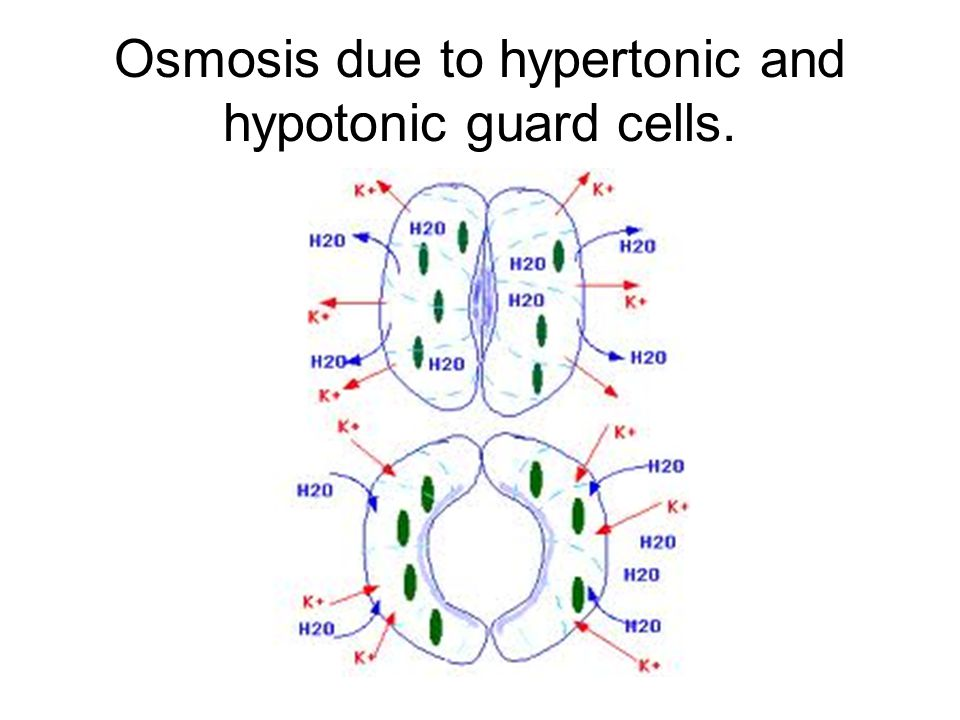 Osmosis due to hypertonic and hypotonic guard cells.