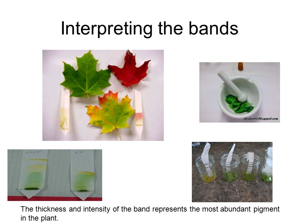 Interpreting the bands The thickness and intensity of the band represents the most abundant pigment in the plant.