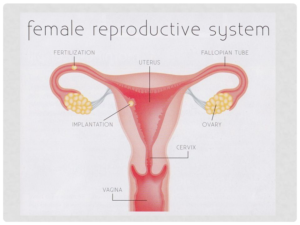 Human anatomy woman reproductive