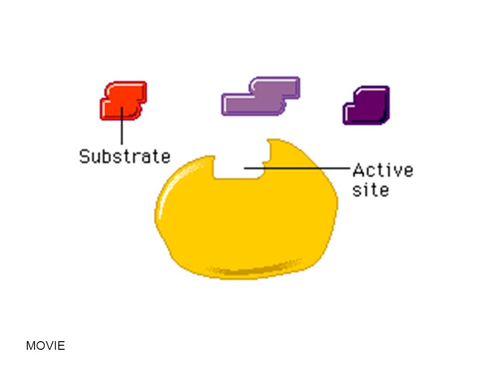 Lock & Key Hypothesis An enzyme only acts on one type of substance, or substrate.