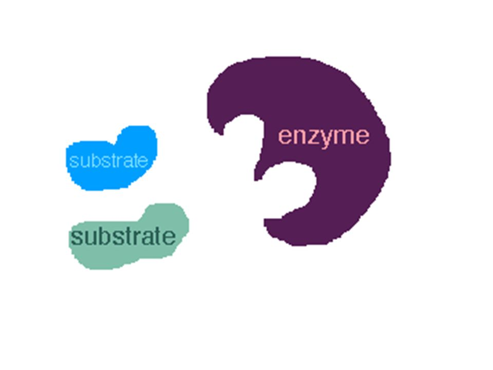 One Enzyme – One Reaction There are thousands of different enzymes in your body.
