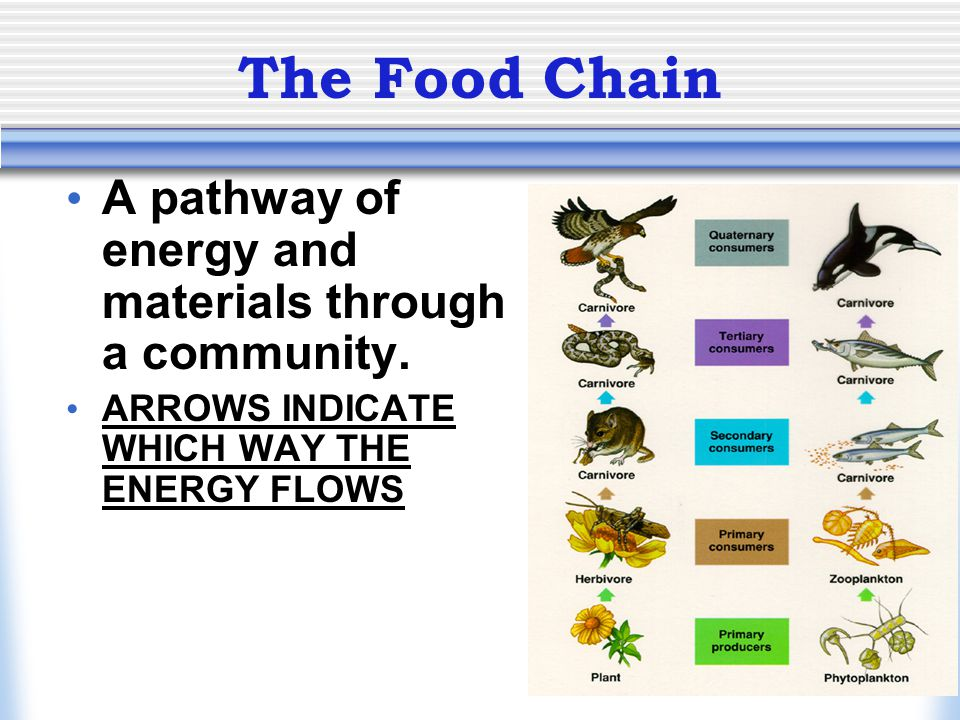 The Food Chain A pathway of energy and materials through a community.