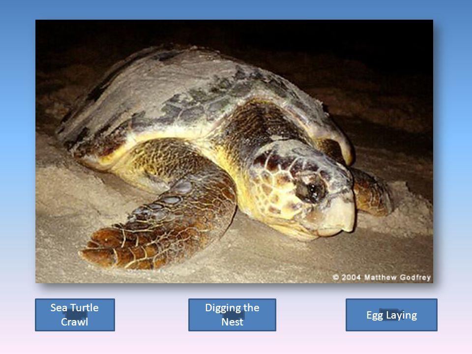 Sea turtle digging nest