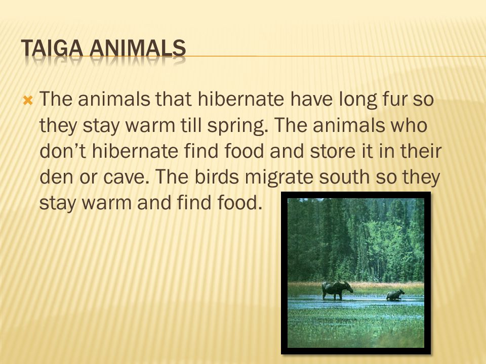 HERE IS AN EXAMPLE OF THE TAIGA ANIMALS' FOOD CHAIN.