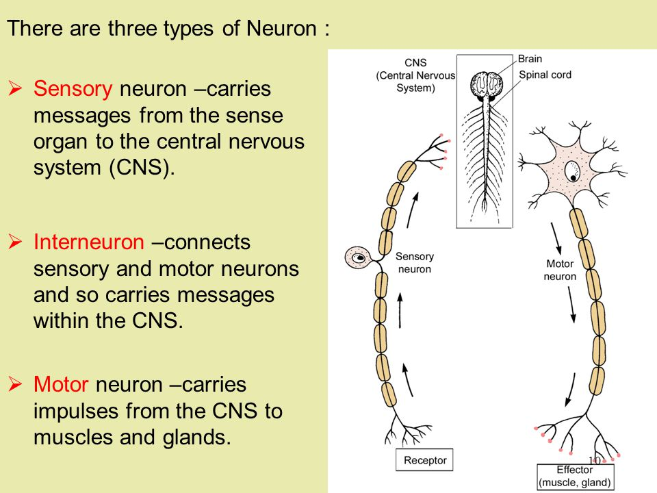 There are three types of Neuron :  Motor neuron –carries impulses from the CNS to muscles and glands.