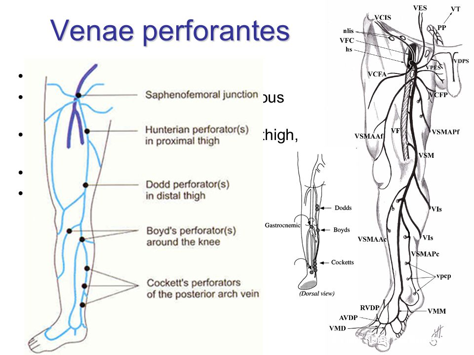 Venae perforantes simple, double or multiple run with small artery and cutaneous nerve (Staubesand's triad) 6 groups: foot, ankle, leg, knee, thigh, b