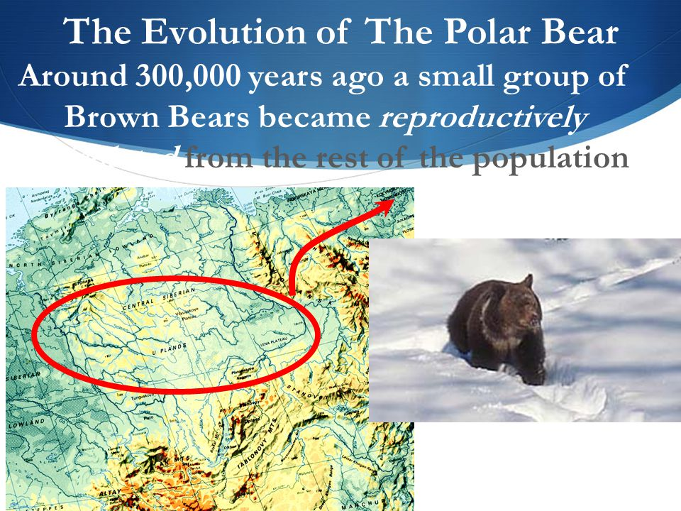 the evolution of polar bears in this essay i will be talking about the 'evolution of polar bears from brown bears, specifically skin and fur colour, skull and ear shape, and digestion of seal fat' ill also talk about the two theorists jean-baptiste lamark (1744-1829) and charles darwin (1809-1882.