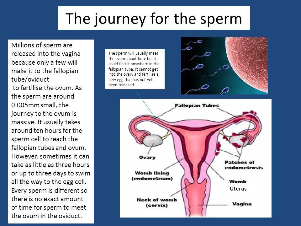 Sperm to journey fertilization