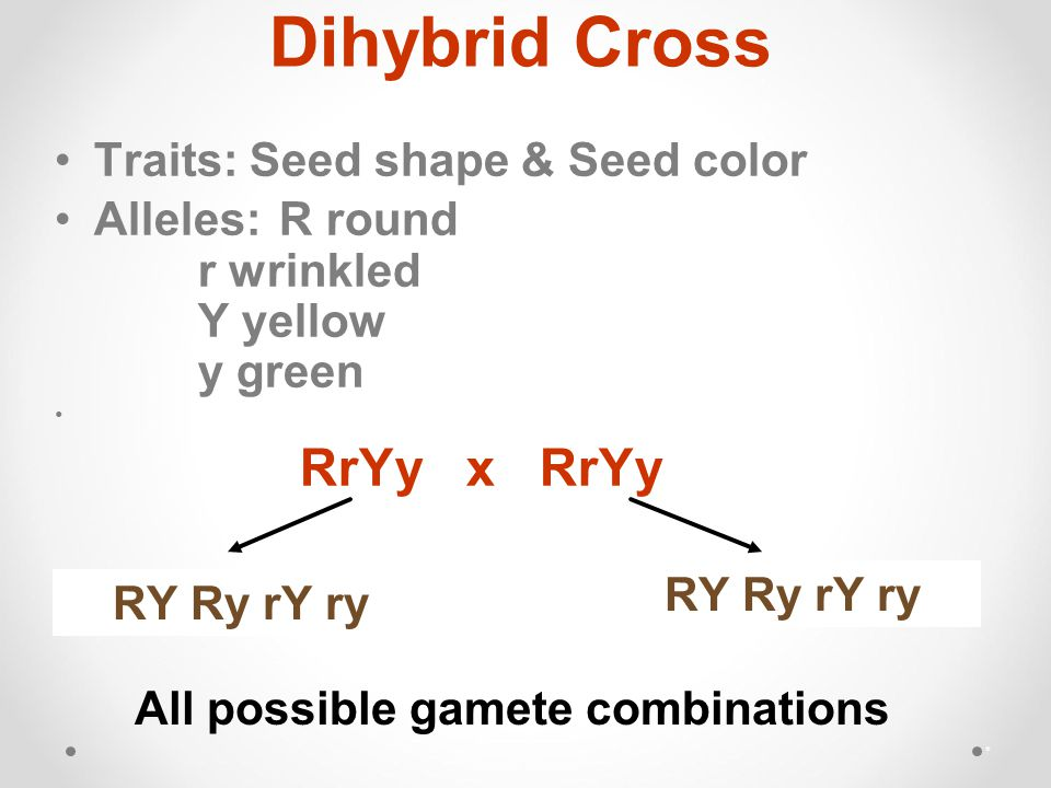 Dihybrid Cross Traits: Seed shape & Seed color Alleles: R round r wrinkled Y yellow y green * RrYy x RrYy RY Ry rY ry All possible gamete combinations