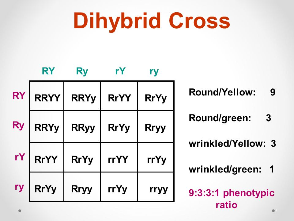 Dihybrid Cross * RRYY RRYy RrYY RrYy RRYy RRyy RrYy Rryy RrYY RrYy rrYY rrYy RrYy Rryy rrYy rryy Round/Yellow: 9 Round/green: 3 wrinkled/Yellow: 3 wrinkled/green: 1 9:3:3:1 phenotypic ratio RYRyrYry RY Ry rY ry