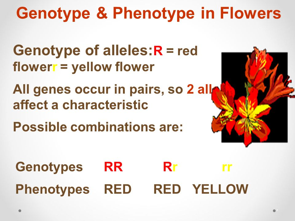 Genotype & Phenotype in Flowers * Genotype of alleles: R = red flowerr = yellow flower All genes occur in pairs, so 2 alleles affect a characteristic Possible combinations are: GenotypesRR Rrrr PhenotypesRED RED YELLOW