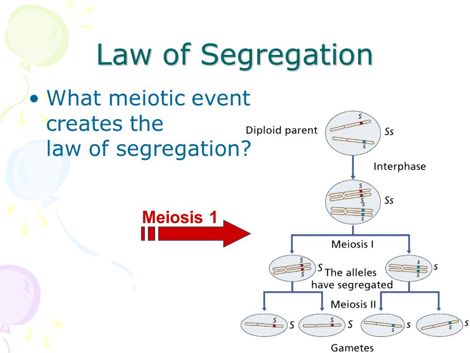 Mendel's laws of heredity (#1) Law of segregation –when gametes are produced during meiosis, homologous chromosomes separate from each other –each allele for a trait is packaged into a separate gamete PP P P pp p p PpPp P p