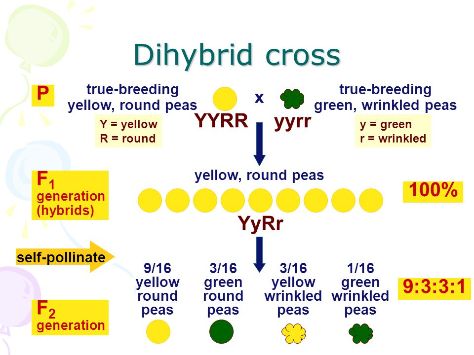Monohybrid cross Some of Mendel's experiments followed the inheritance of single characters –flower color –seed color –monohyb rid crosses Other of Mendel's experiments followed the inheritance of 2 different characters –seed color and seed shape –dihybrid crosses