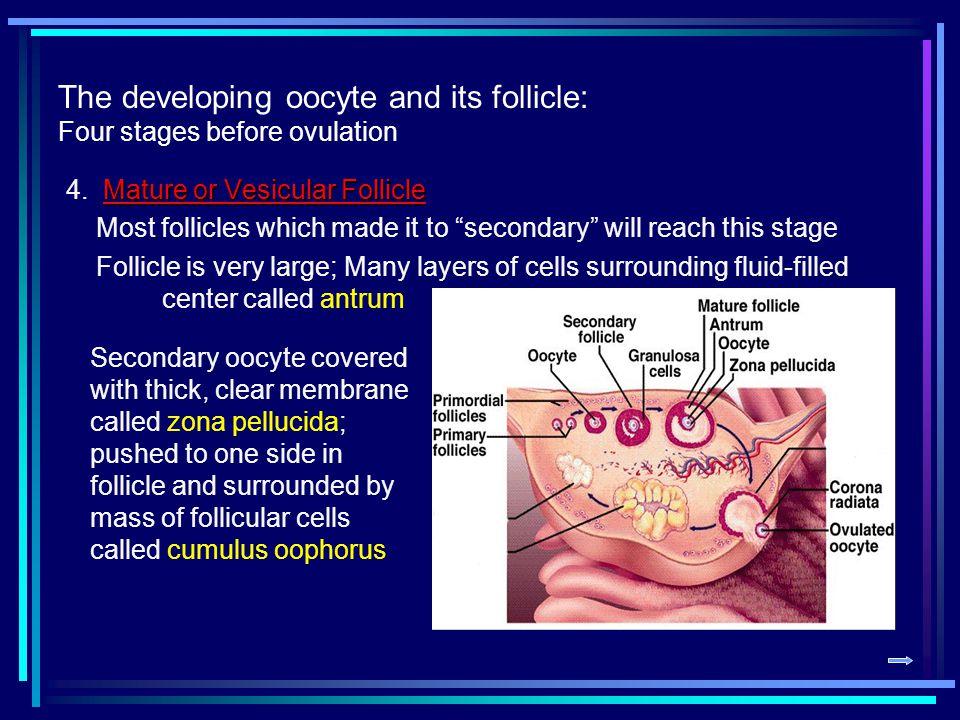 Vesicular Follicle Mature or Vesicular Follicle