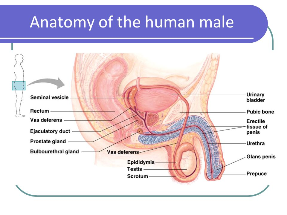 Reproductive System  MCWDN