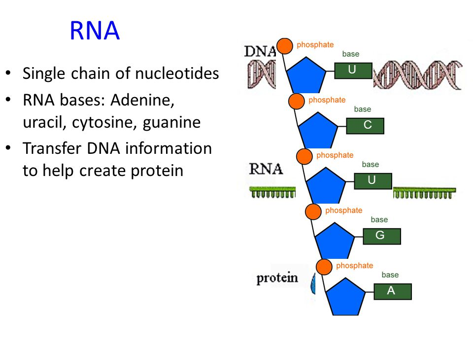 Predict the nucleotides to fill in this DNA chain