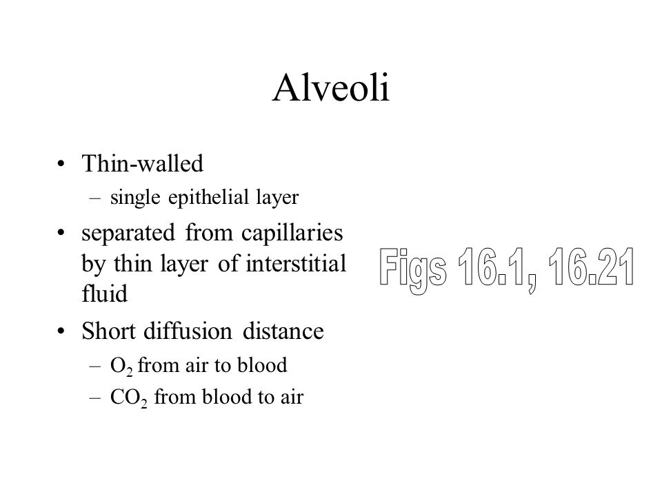 Alveoli Thin-walled –single epithelial layer separated from capillaries by thin layer of interstitial fluid Short diffusion distance –O 2 from air to blood –CO 2 from blood to air