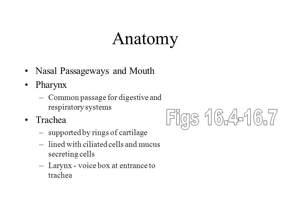 Anatomy Nasal Passageways and Mouth Pharynx –Common passage for digestive and respiratory systems Trachea –supported by rings of cartilage –lined with ciliated cells and mucus secreting cells –Larynx - voice box at entrance to trachea