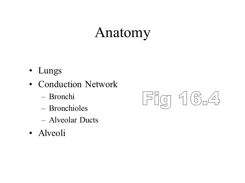 Anatomy Lungs Conduction Network –Bronchi –Bronchioles –Alveolar Ducts Alveoli