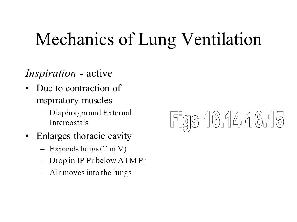 Mechanics of Lung Ventilation Inspiration - active Due to contraction of inspiratory muscles –Diaphragm and External Intercostals Enlarges thoracic cavity –Expands lungs (  in V) –Drop in IP Pr below ATM Pr –Air moves into the lungs