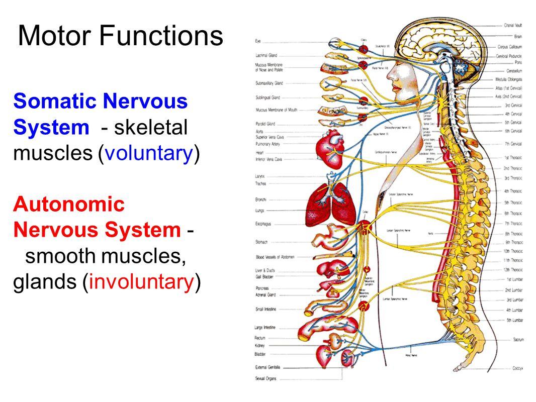 worksheet The Nervous System Worksheet the nervous system communication a neurons nerve cells that 5 motor functions somatic skeletal muscles voluntary autonomic smooth glands involunt