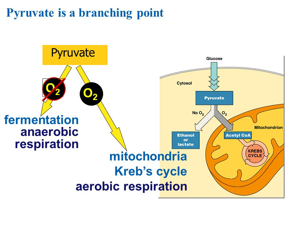 Summary of cellular respiration  Where did the glucose come from.