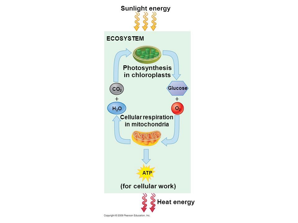 Photosynthesis and cellular respiration provide energy for life  Energy is necessary for life processes –Why.