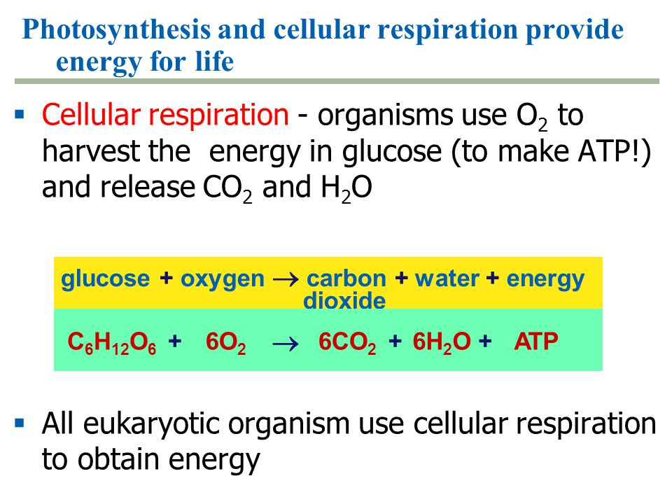 Sunlight energy ECOSYSTEM Photosynthesis in chloroplasts Glucose Cellular respiration in mitochondria H2OH2O CO 2 O2O2  (for cellular work) ATP Heat energy