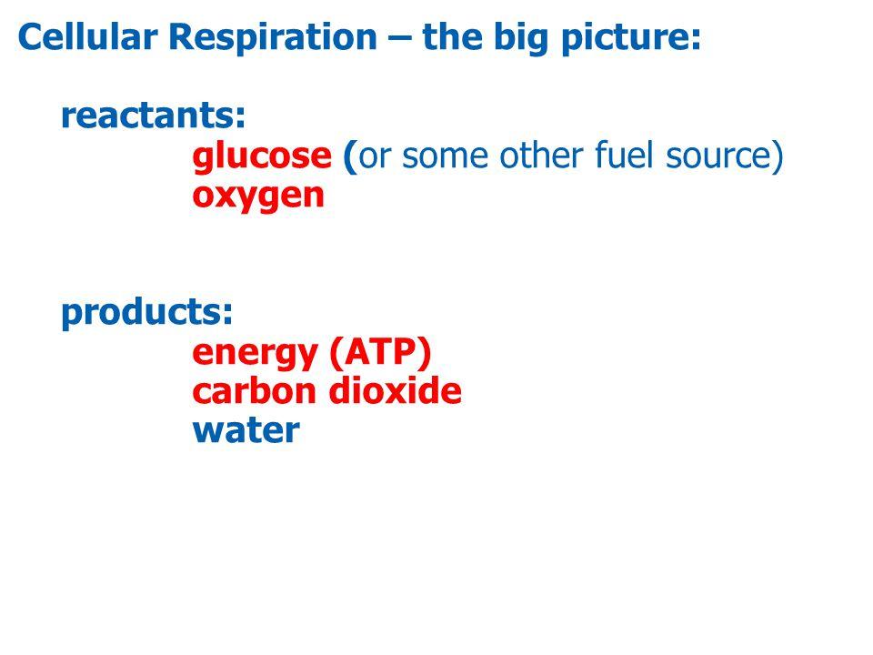 C 6 H 12 O 6 + 6O2O2 Glucose Oxygen 6 CO 2 Carbon dioxide + 6 H2OH2O Water + ATPs Energy