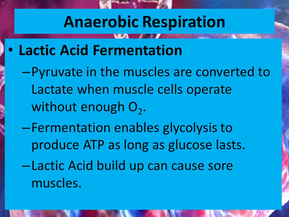 Anaerobic Respiration Lactic Acid Fermentation – Pyruvate in the muscles are converted to Lactate when muscle cells operate without enough O 2.