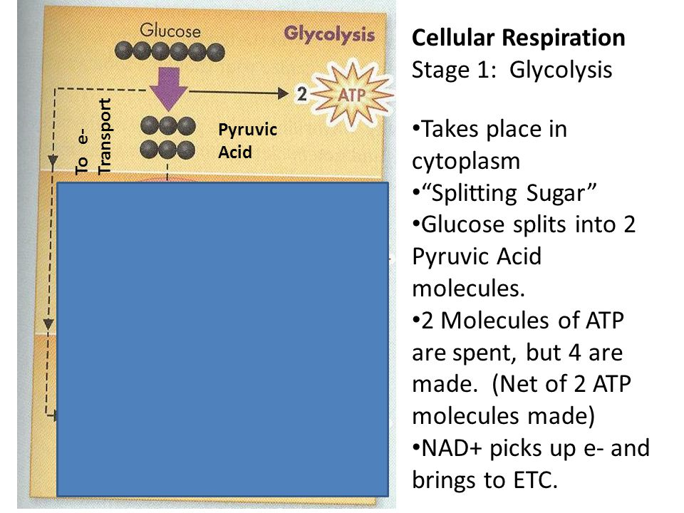 Cellular Respiration Stage 1: Glycolysis Takes place in cytoplasm Splitting Sugar Glucose splits into 2 Pyruvic Acid molecules.