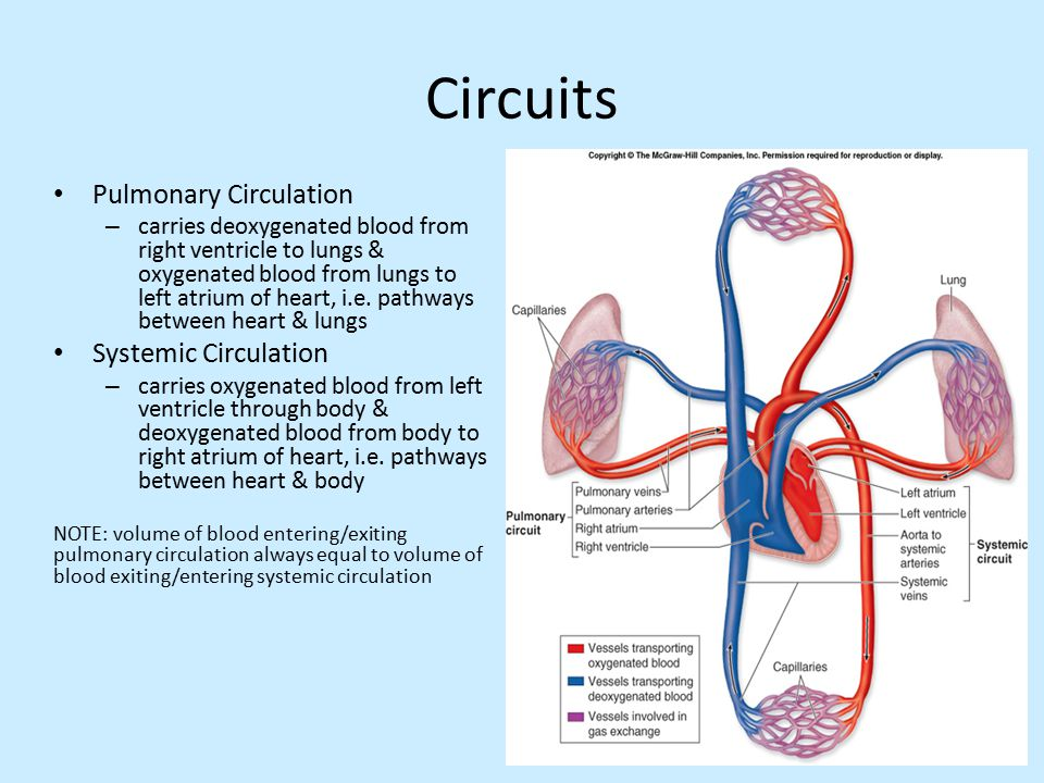 The Circulatory System Part 2 Review From Last Class Ppt Download