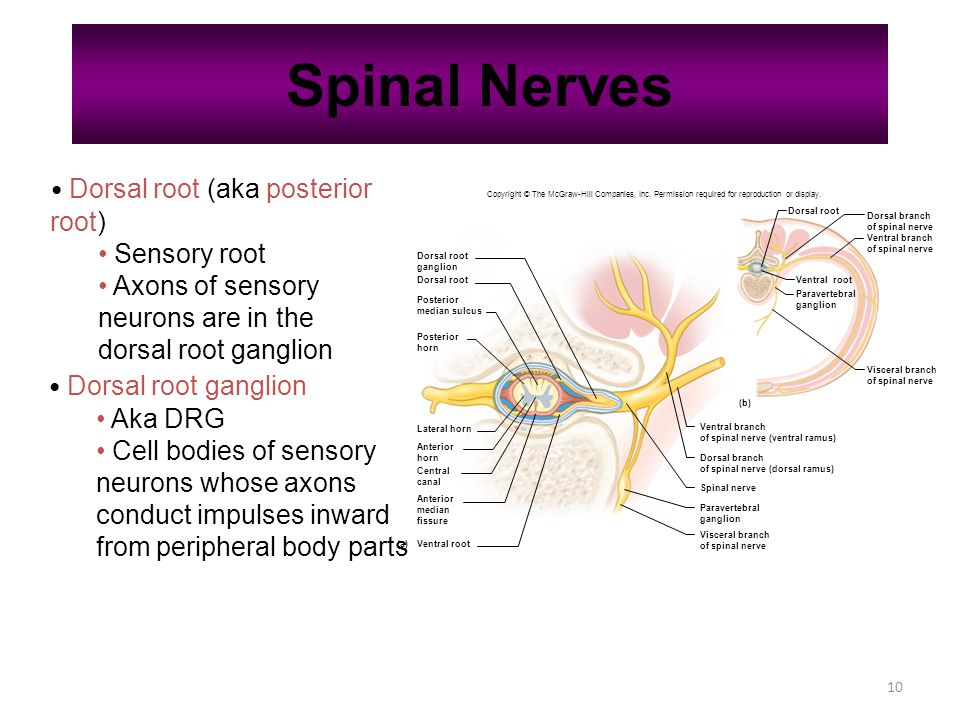 10 Spinal Nerves Dorsal root (aka posterior root) Sensory root Axons of sensory neurons are in the dorsal root ganglion Dorsal root ganglion Aka DRG Cell bodies of sensory neurons whose axons conduct impulses inward from peripheral body parts Copyright © The McGraw-Hill Companies, Inc.