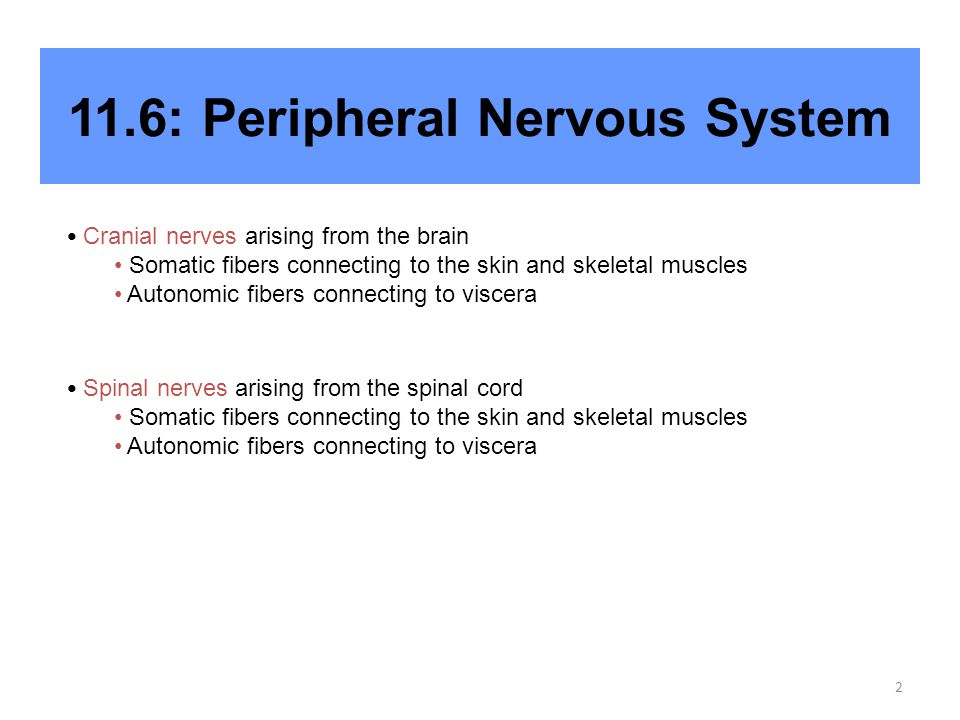 2 11.6: Peripheral Nervous System Cranial nerves arising from the brain Somatic fibers connecting to the skin and skeletal muscles Autonomic fibers connecting to viscera Spinal nerves arising from the spinal cord Somatic fibers connecting to the skin and skeletal muscles Autonomic fibers connecting to viscera