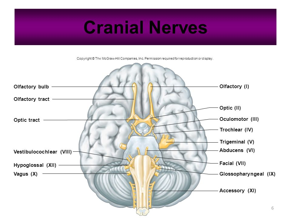 6 Cranial Nerves Copyright © The McGraw-Hill Companies, Inc.