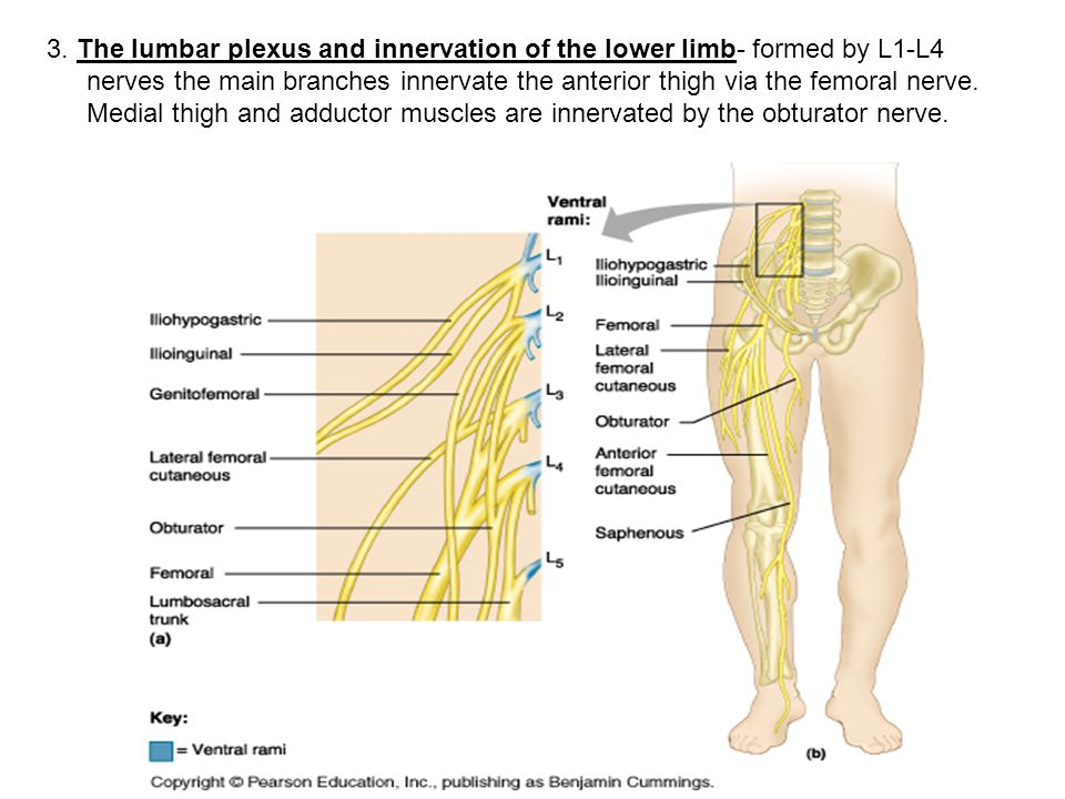 femoral nerve function – brownshelter, Muscles