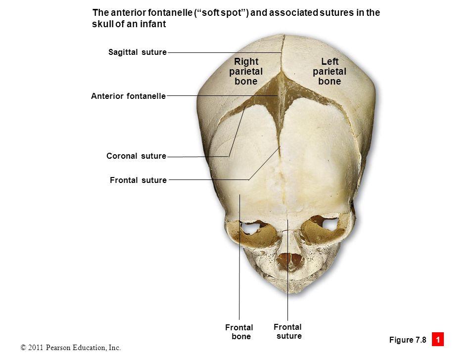 Unique Anterior Skull Anatomy Composition - Human Anatomy Images ...