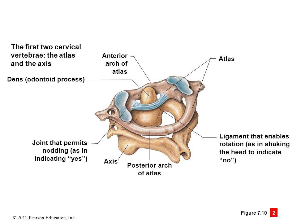 Atlas vertebrae anatomy