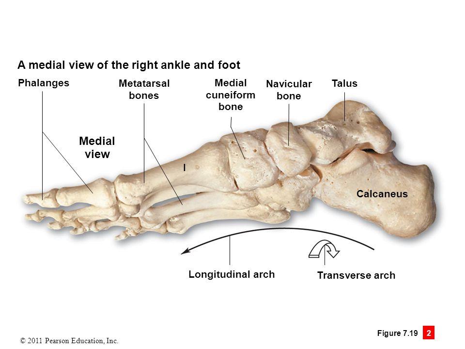 Colorful Metatarsal Bone Anatomy Component - Human Anatomy Images ...